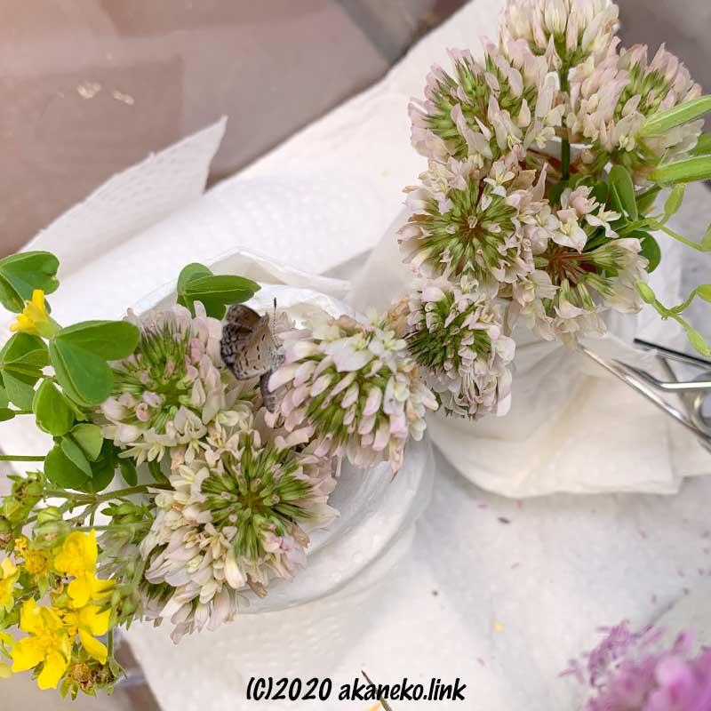 飼育ケースの中でシロツメクサを吸蜜する蝶(ヤマトシジミ)