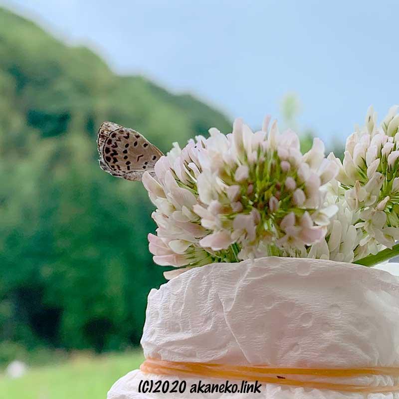シロツメクサのブーケを吸蜜しているシジミチョウのお尻