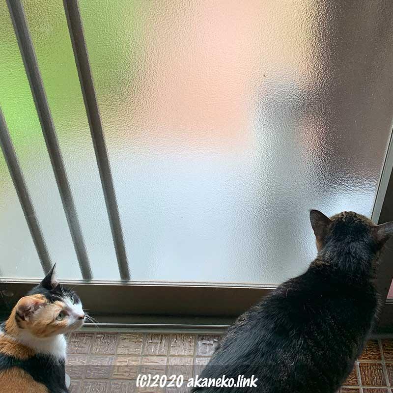 すりガラスの向こうのよそ猫を警戒する2匹の猫