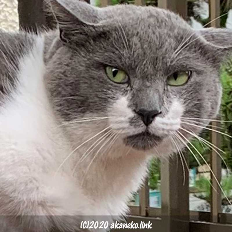 怒った顔が凛々しい猫