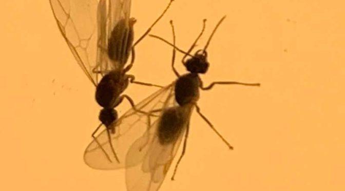 LEDの玄関灯に集まった羽アリ