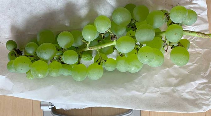 2020年、葡萄ヒムロッド・シードレスの収穫開始:1房380グラム(栽培4年目その5)