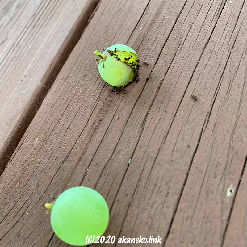 脱粒した葡萄(ヒムロッドシードレス)にアリがいっぱい