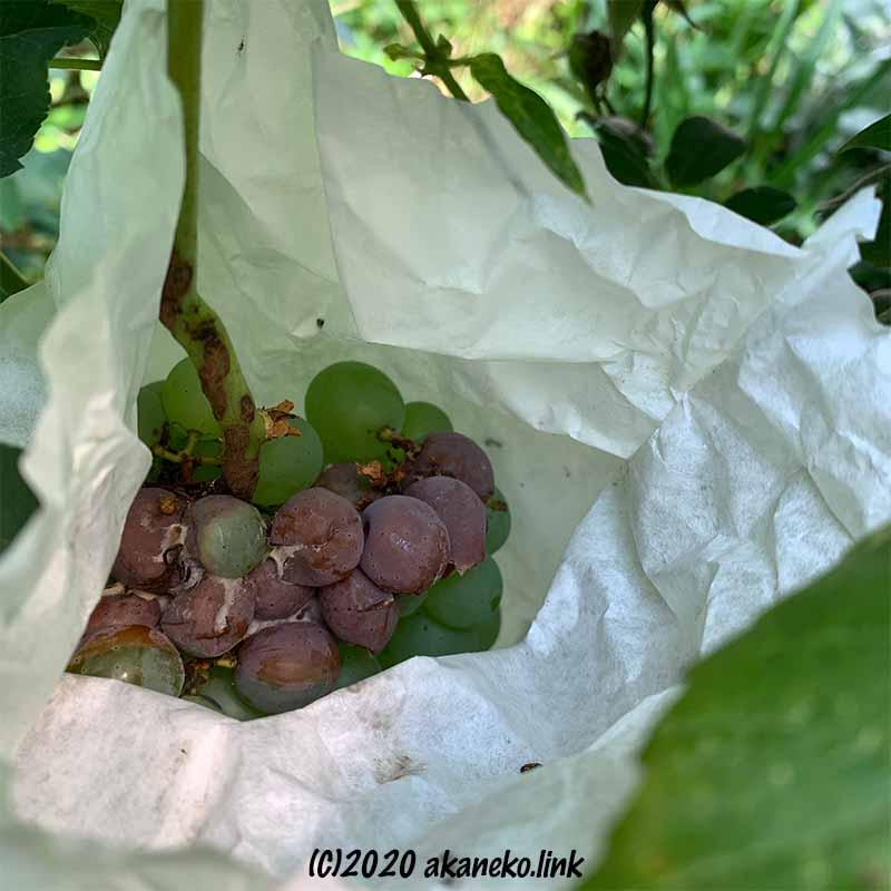 袋の中で腐った葡萄