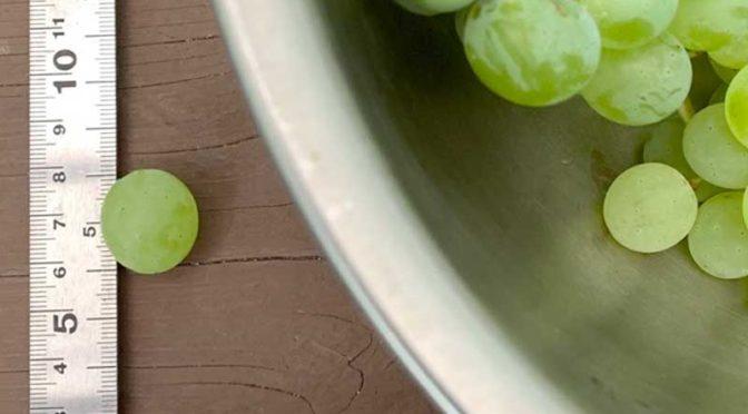 無肥料ヒムロッドシードレス:不揃いの粒、最大直径2センチ(栽培4年目その6)