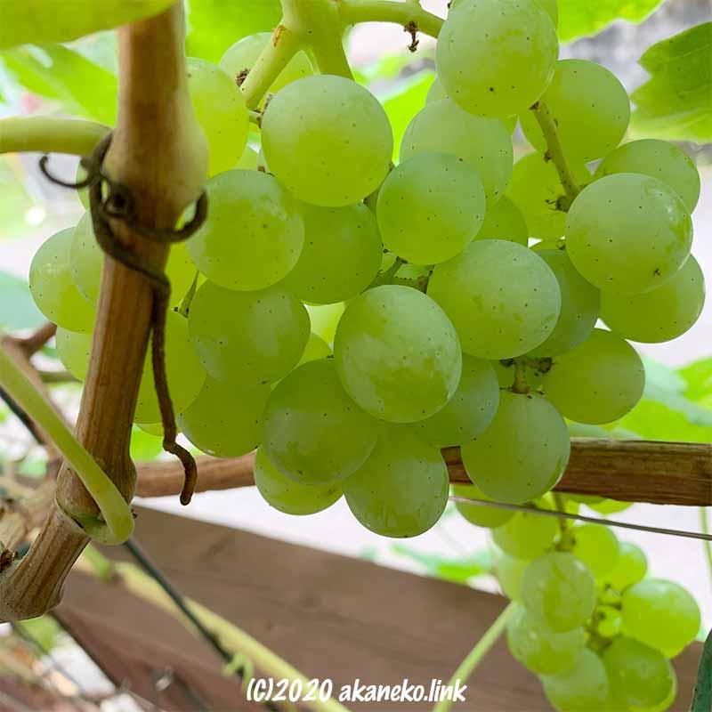 葡萄(ヒムロッド・シードレス)の果実
