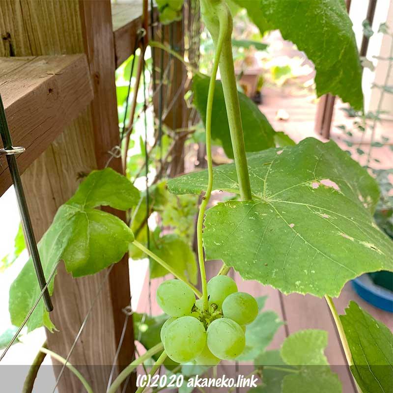 蔓の先についた葡萄の実
