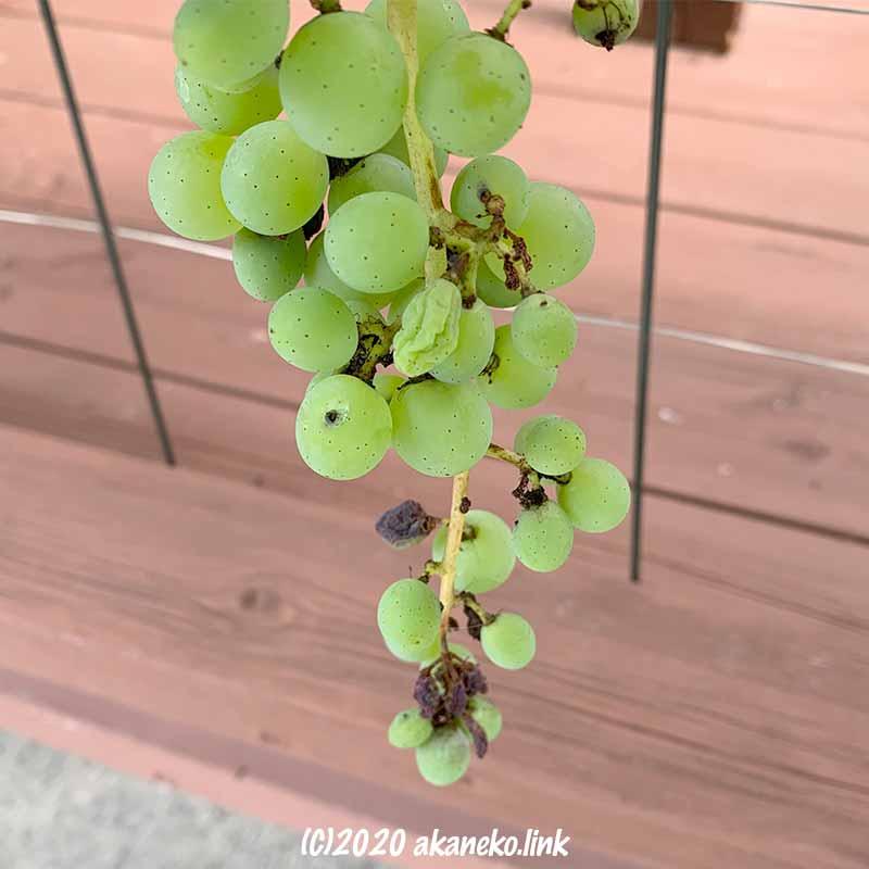一部傷んだ葡萄の果実