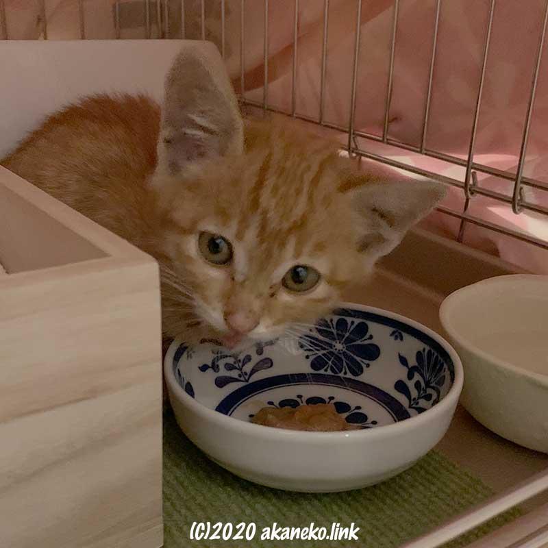 ケージの中でご飯を食べる子猫