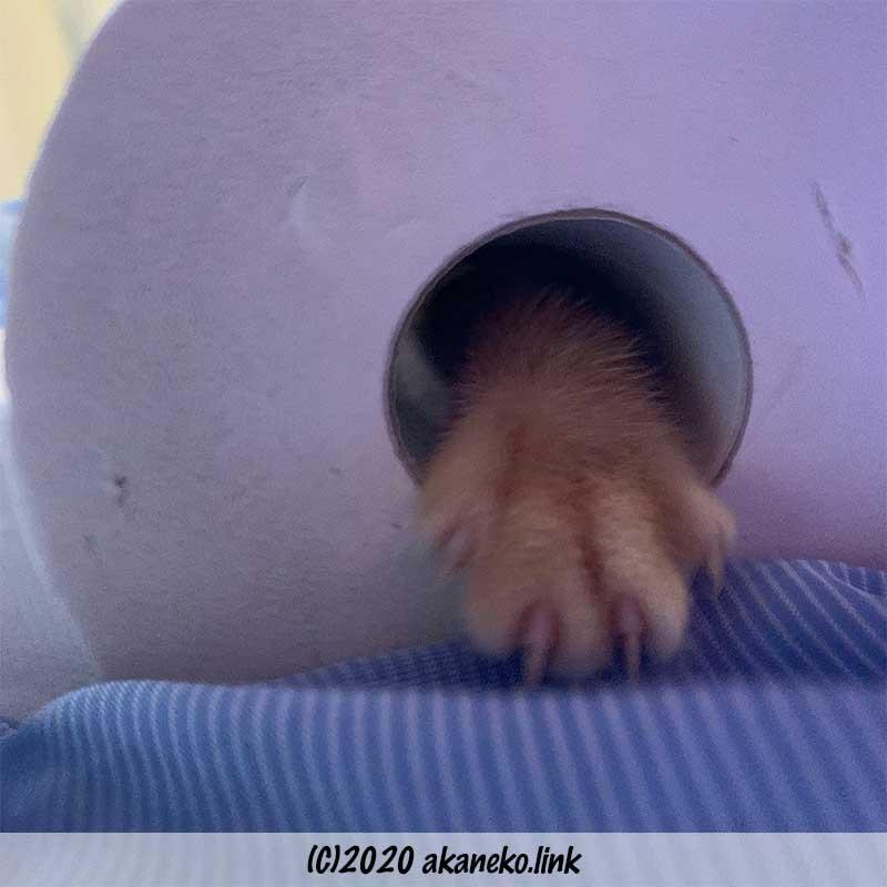 トイレとペーパーの穴から手を出す子猫