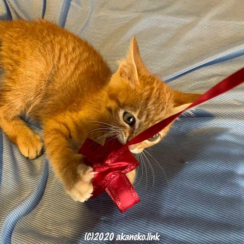 リボンを咥えて遊ぶ子猫