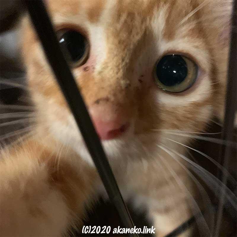 ケージの中からまん丸な目で見つめる子猫