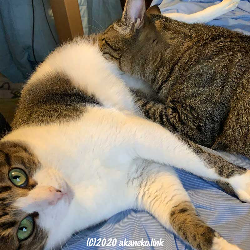 母猫のお乳を弄る2歳の猫