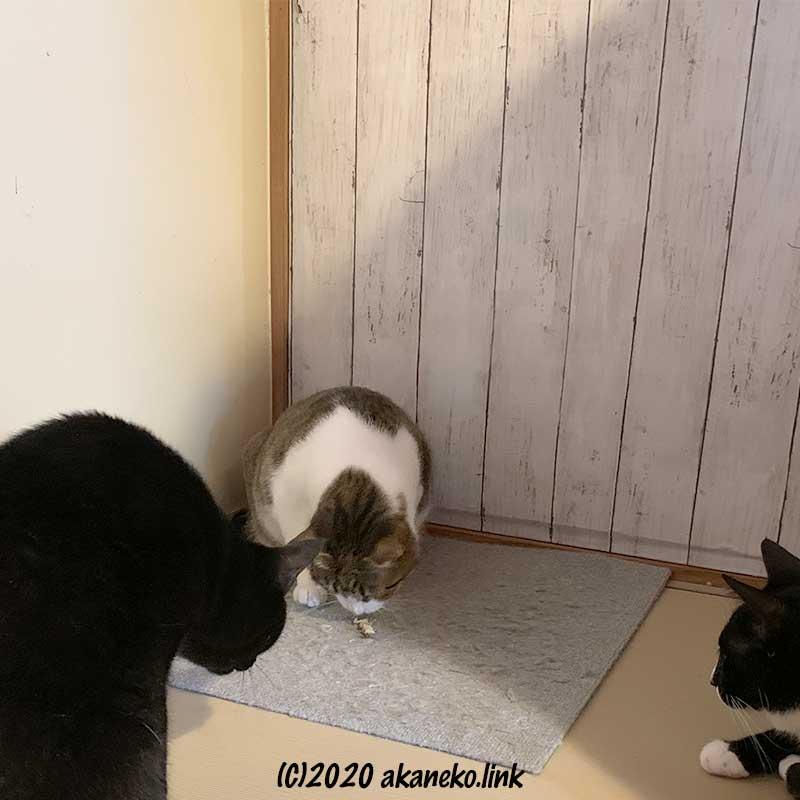 母猫が持つヤモリに興味津々の2歳猫2匹