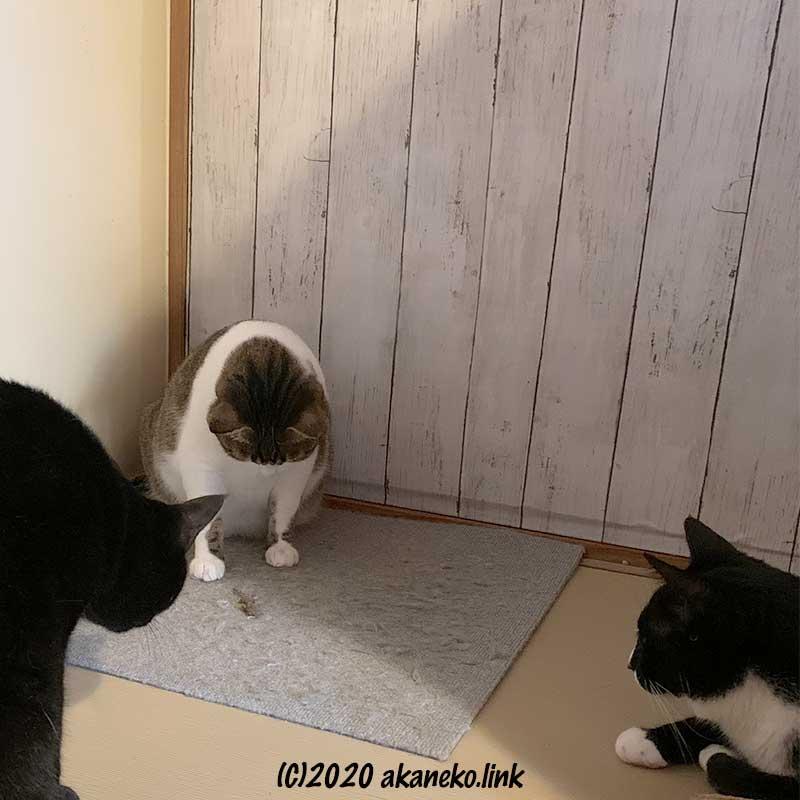 瀕死のヤモリを見つめる3匹の猫