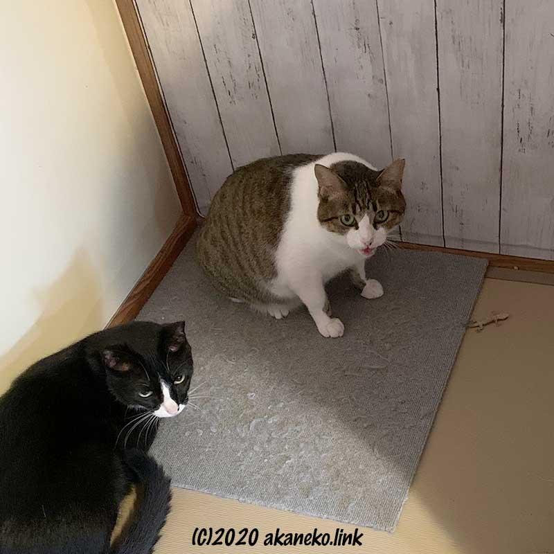 イモリの所有権を主張する猫