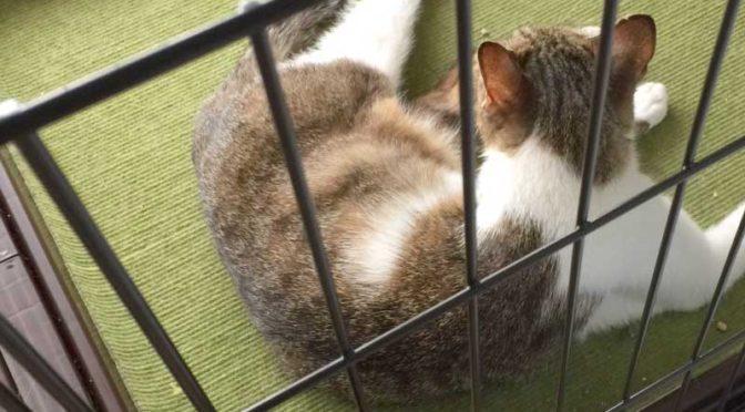 母猫をケージから捕獲器に移すのだ!:避妊手術当日(野良猫母子、家猫化計画その4)