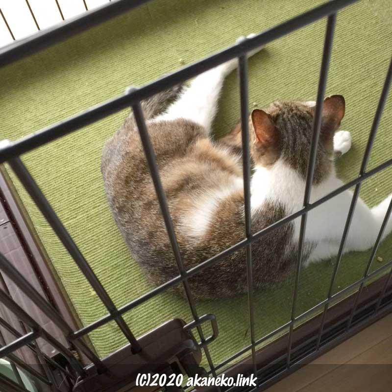 ケージの中の保護3日目の野良猫