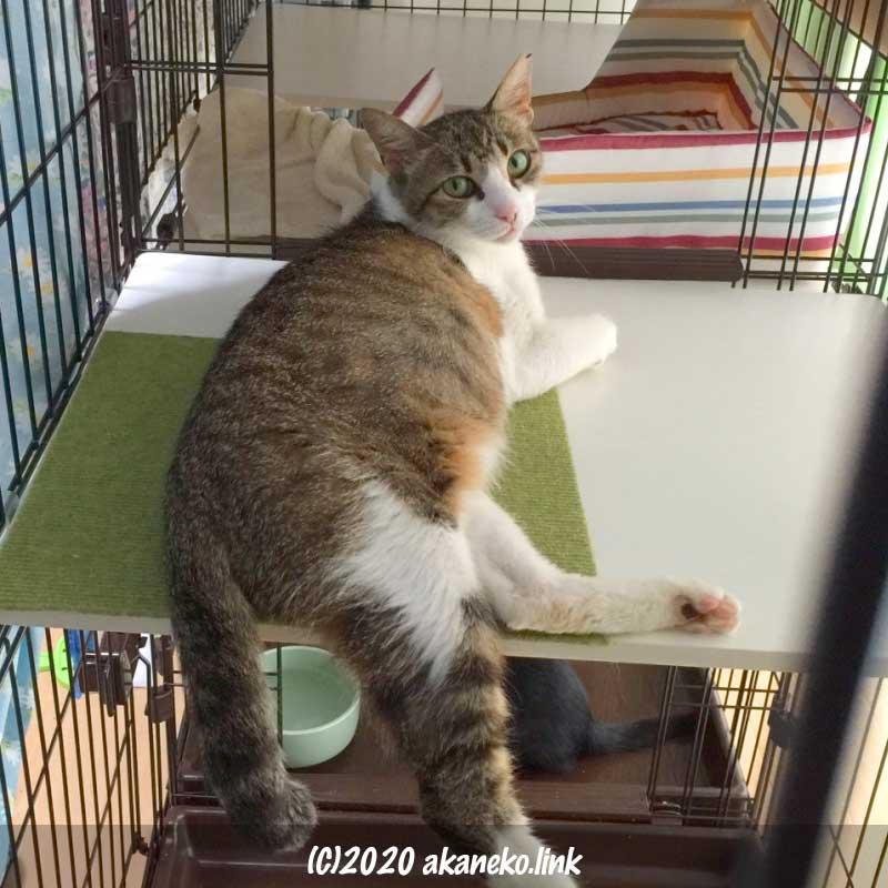 避妊手術2日後の猫