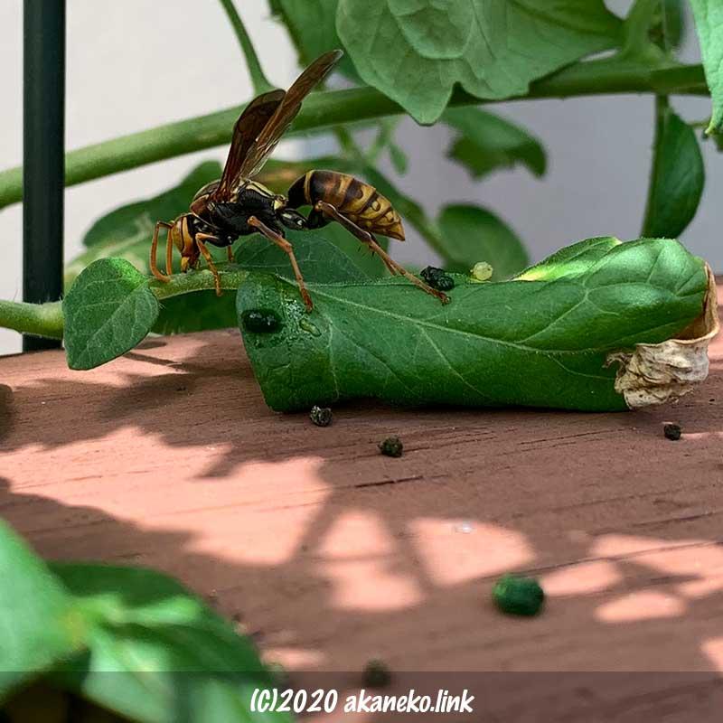 ミニトマトの葉の上で何やら作業中のコアシナガバチ