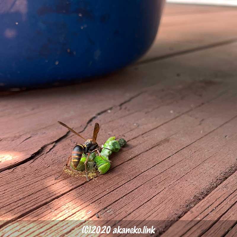 クロメンガタスズメの幼虫を肉団子にしているコアシナガバチ