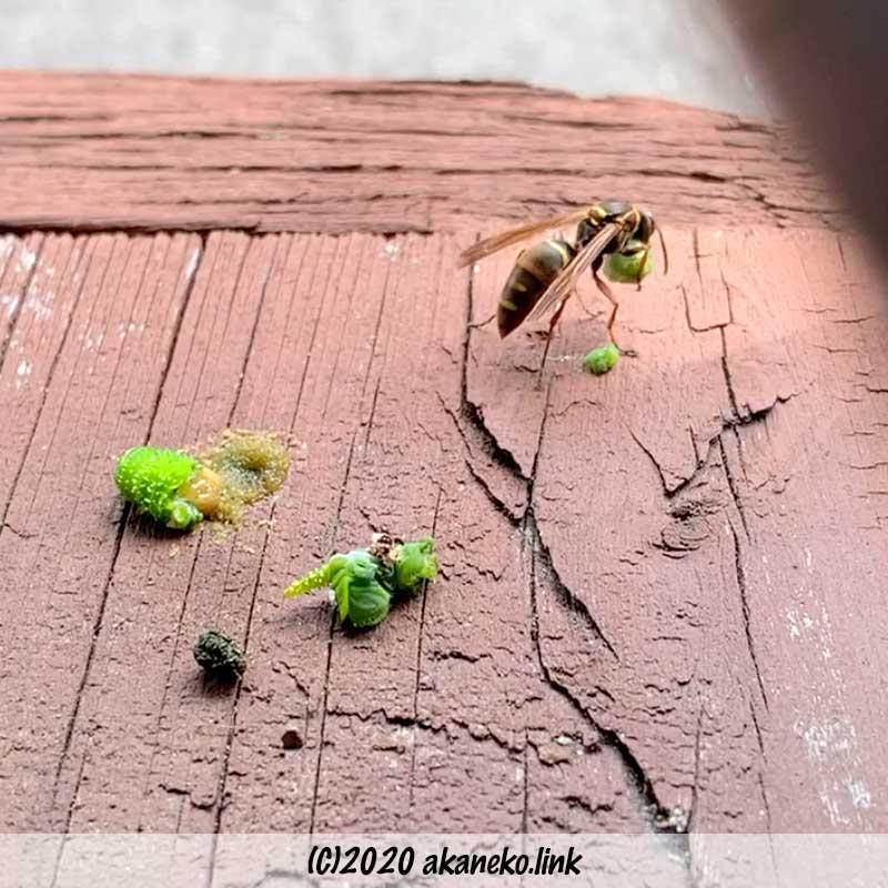 クロメンガタスズメの肉団子を持って飛び立とうとするコアシナガバチ