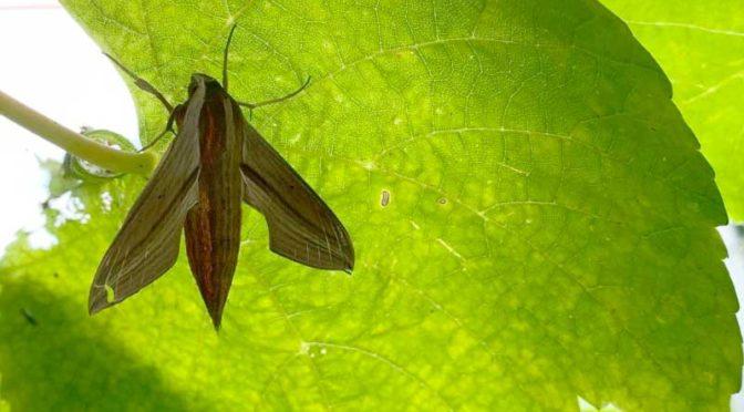待望のコスズメ成虫:葡萄の葉にて