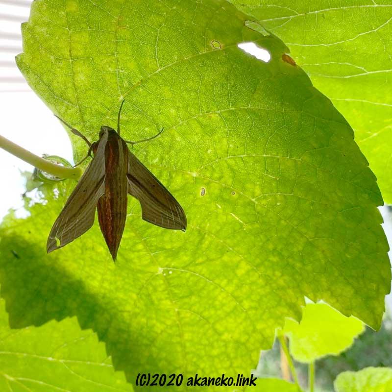 葡萄の葉にとまる茶色い蛾(コスズメ)の成虫