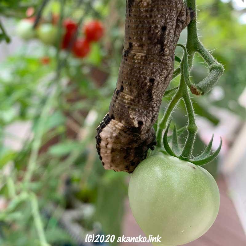 ミニトマトの実をかじるクロメンガタスズメの幼虫