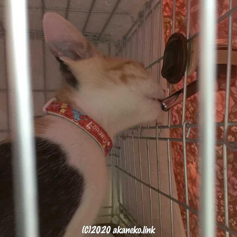 ケージの中でペット用給水器から水を飲む子猫