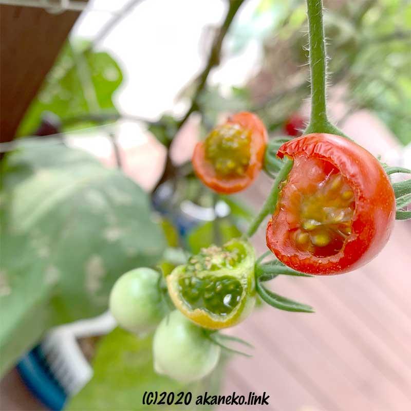 クロメンガタスズメの幼虫がかじったミニトマト