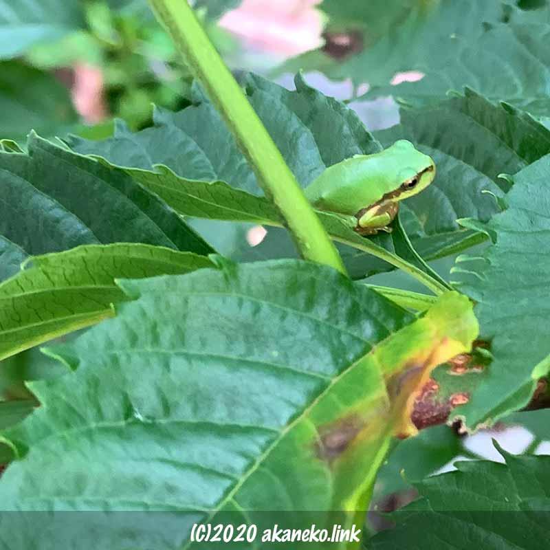 ノウゼンカズラの葉の上のアマガエル