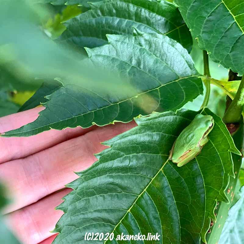 ノウゼンカズラの葉の上の小さな日本アマガエル