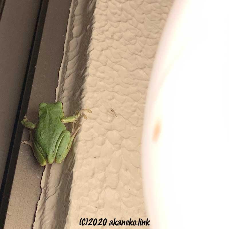 玄関灯にハンティングにやって来たニホンアマガエル