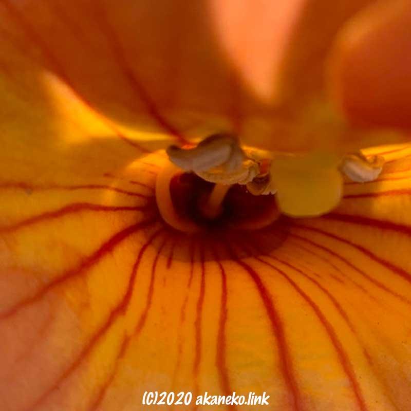 ノウゼンカズラの花の奥には蜜がたっぷり