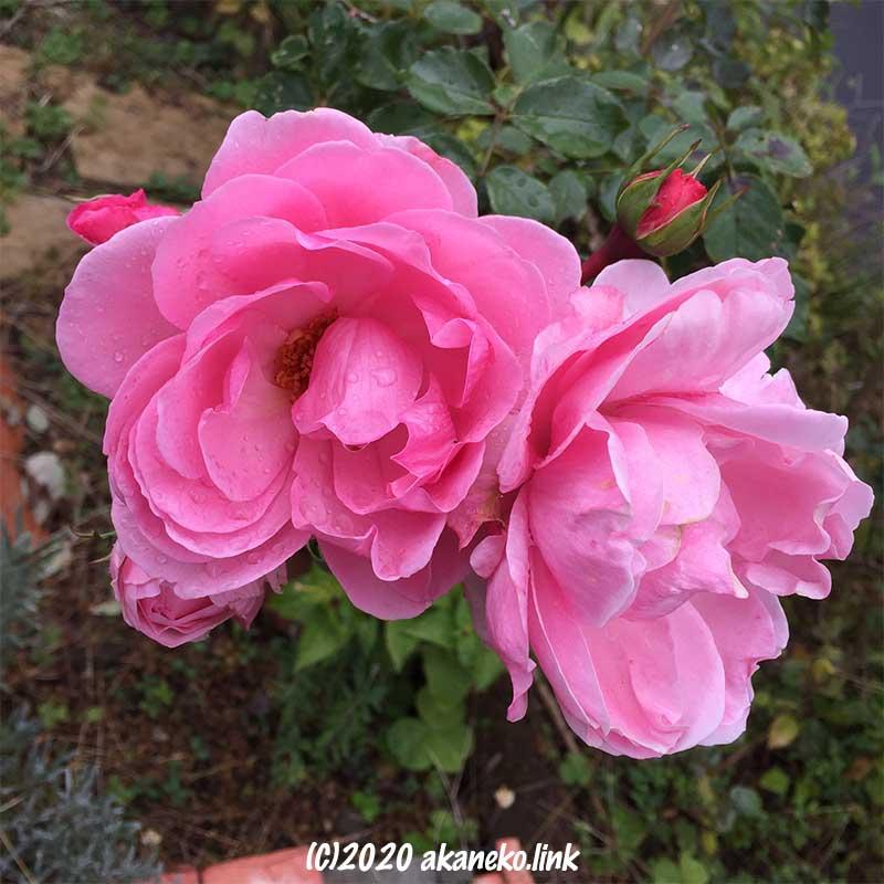 冬まで咲くピンクのバラ(ホーム&ガーデン)