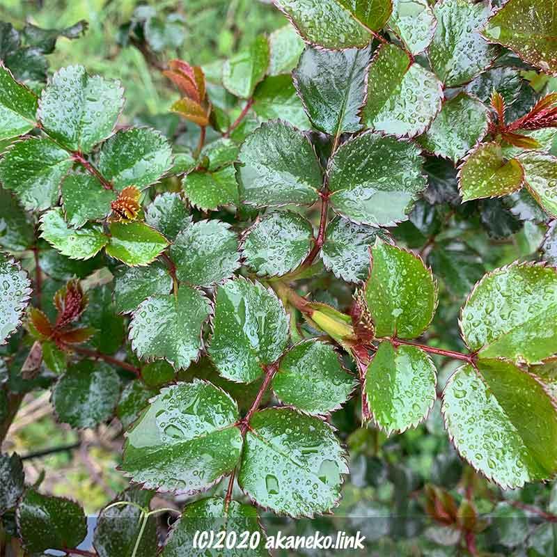 雨に濡れたバラ(ホーム&ガーデン)の照り葉