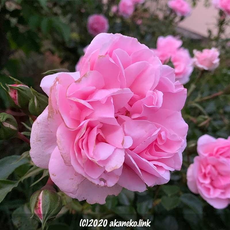 夕暮れ時のピンクのバラ(ホーム&ガーデン)