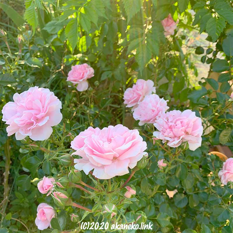 西日の庭で咲くピンクのバラ(ホーム&ガーデン)