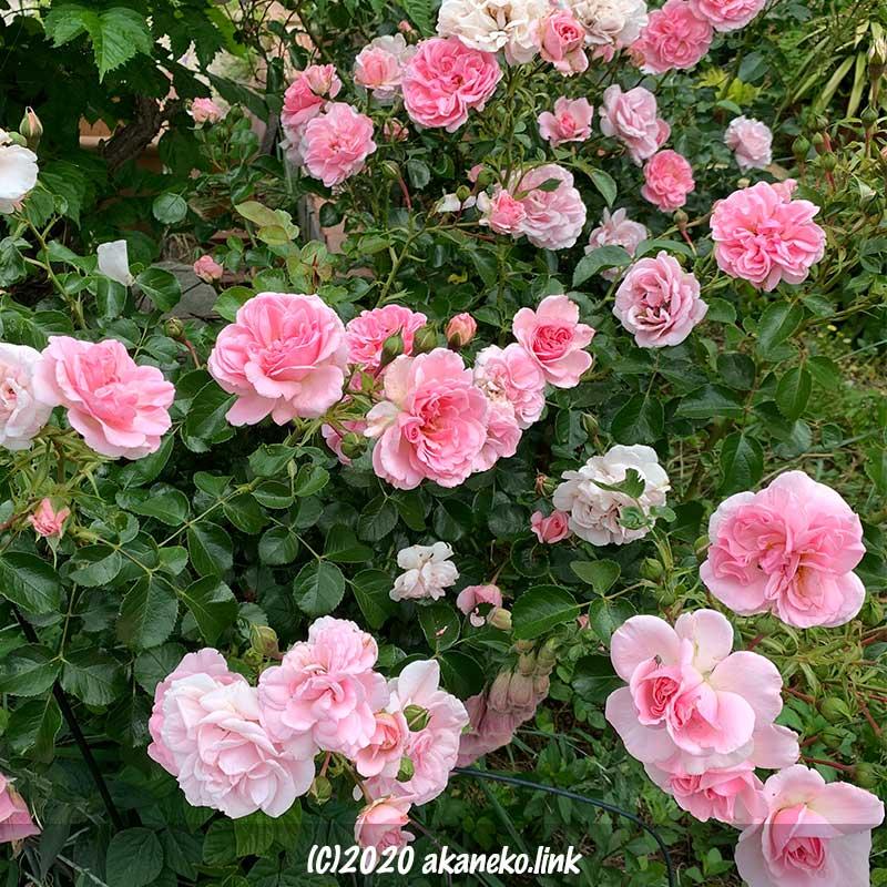 花数の多い春のホーム&ガーデン(ピンク色のバラ)