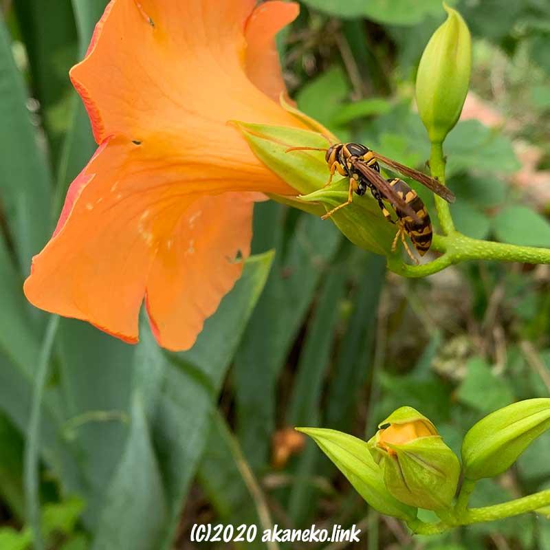 ノウゼンカズラの蕾の上で身繕いをするセグロアシナガバチ