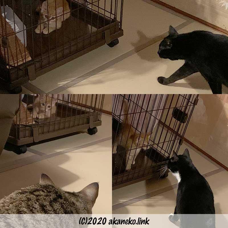 新入り子猫のケージにそっと近づく猫たち