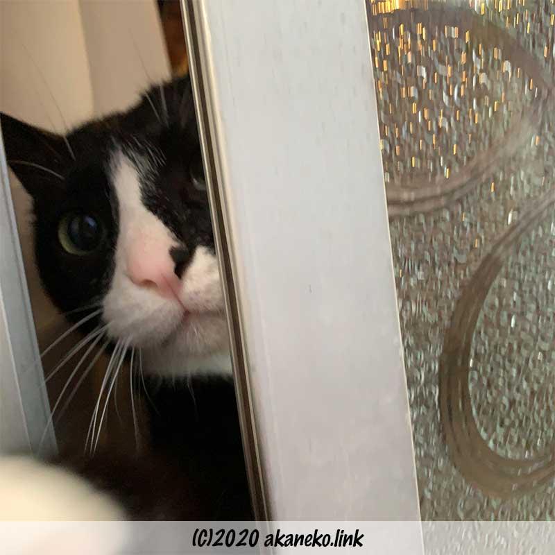 サッシの隙間から外を覗く猫