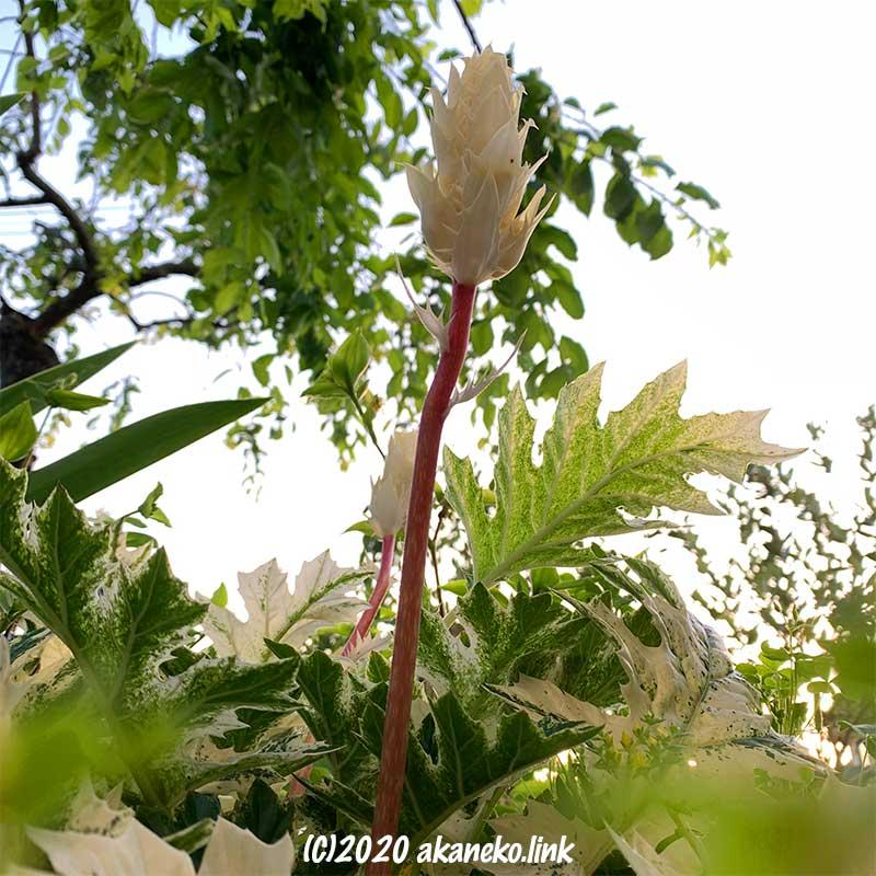 スルルと伸びるアカンサスモリスの花穂
