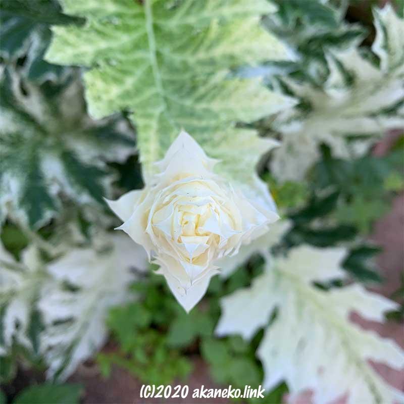 真上から見たアカンサスモリス・タスマニアンエンジェルの花穂