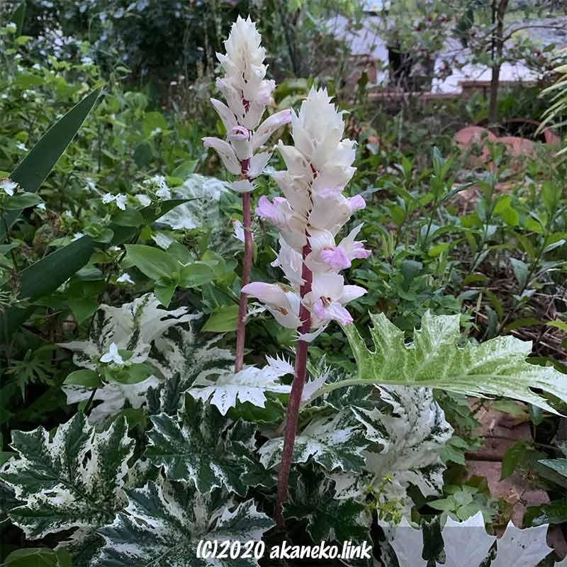 2年目のアカンサスモリス・タスマニアンエンジェルの花