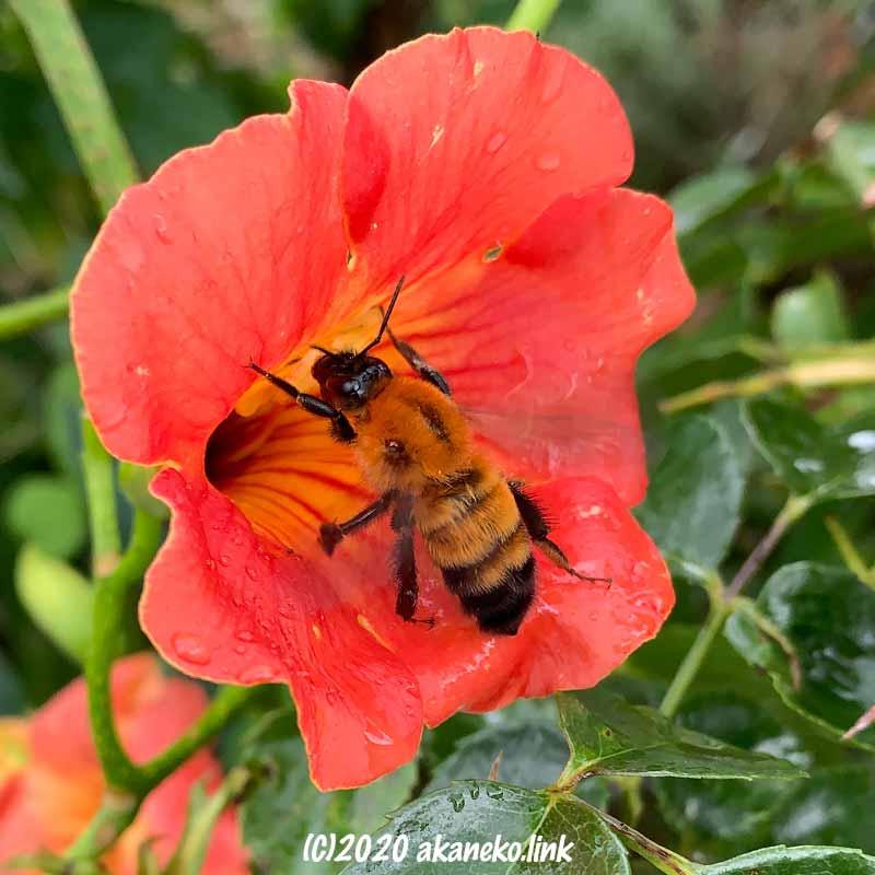 ノウゼンカズラの花にやって来たトラマルハナバチ