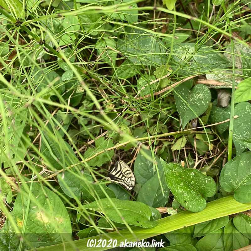 草むらに落ちているアゲハ蝶の翅