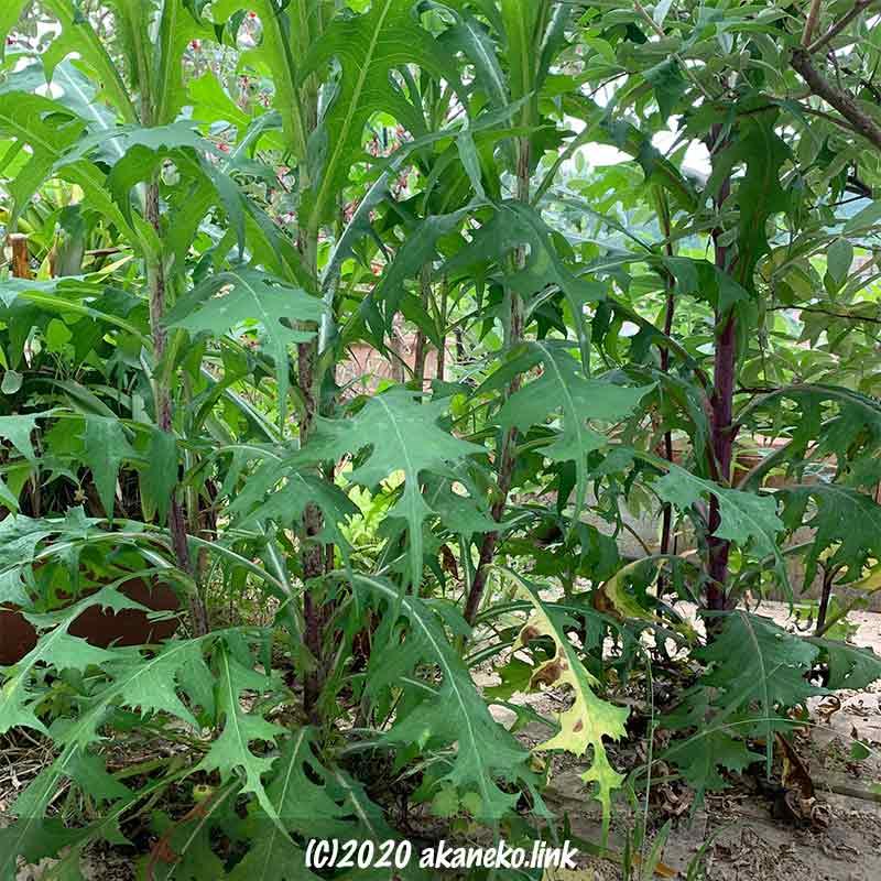 庭に生えたアキノノゲシのジャングル