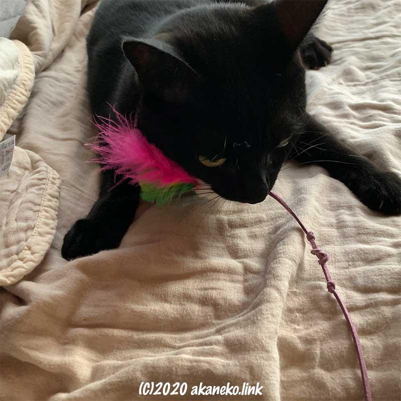 猫じゃらしを咥えた黒猫